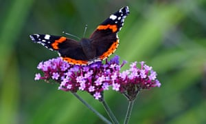 Red Admiral butterfly on a Verbena bonariensis. Image shot 2008. Exact date unknown.