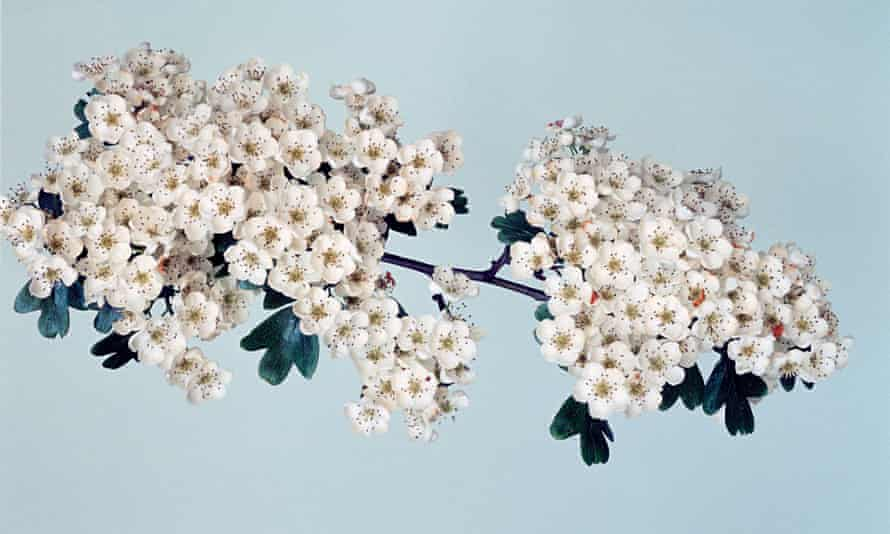 Sets human impermanence in stark relief' … a hawthorn tree.