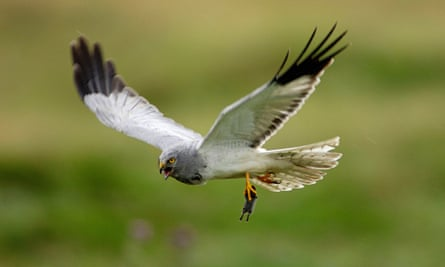 Stealthy hunting flight … a male hen harrier.