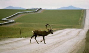 Caribou near the trans-Alaska oil pipeline