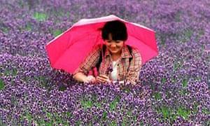 Japan - lavender