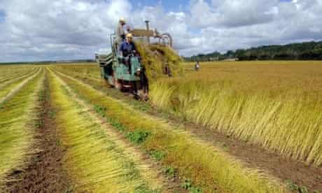 A French farmer harvesting a flax field,