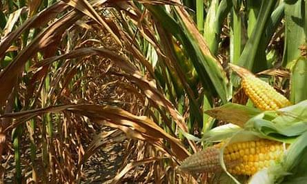 Drought-damagaed ears of corn