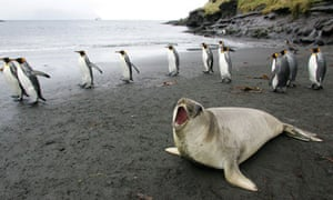 a colony of king penguins and an elephant seal on Possession Island