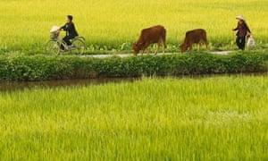MDG rice paddy fields, Hanoi