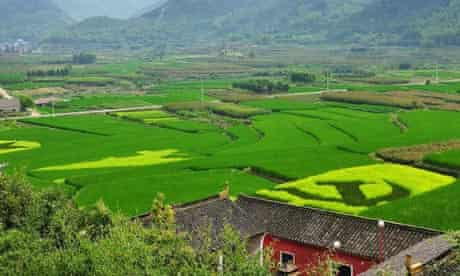 A paddy field with patterns of the China Communist Party flag in east China's Zhejiang province