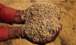Rice being harvested in Punjab, Pakistan
