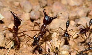 The remarkable self-organization of ants | Science | The