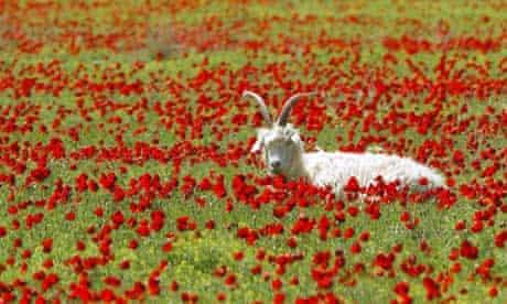 A goat in a poppy field