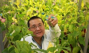 Professor Julian Ma with his GM tobacco plants at St George's, University of London