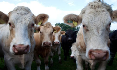 Like-minded: cattle tend to synchronise their behaviour