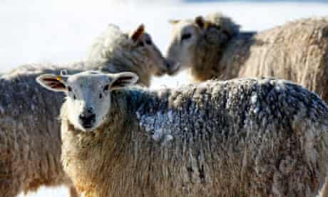 The researchers found that bold sheep tended to split into subgroups at smaller group sizes