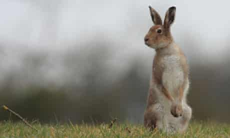 The Irish hare is under threat from its European cousin