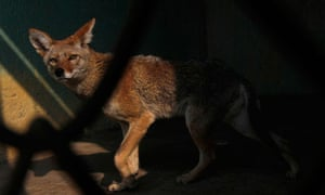 A Mexican coyote. In the study three-footed animals reached speeds close to those of full-bodied