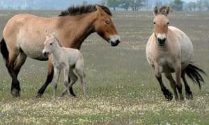 Foal of Przewalski wild horses