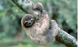 sloths simply can t get away from scientists education the guardian