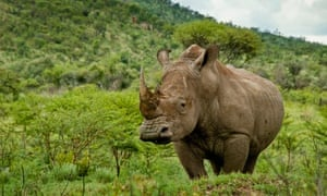 The white rhino. The resources reveal the complexity of conservation issues