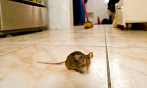 Mouse in kitchen student house