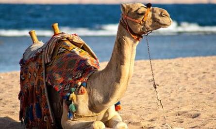 camel on beach
