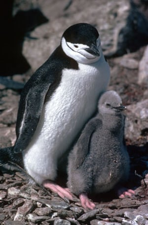 Gallery Antarctic: Chinstrap penguin