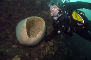 Gallery Antarctic: A diver with a giant sponge