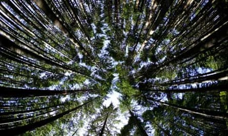 Douglas Fir Trees forest in New Zealand