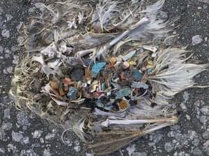 Albatross chicks: Midway Atoll