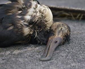 Albatross chicks: albatross gluttony