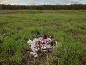 Albatross chicks: North Pacific gyre