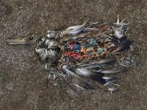 Albatross chicks: ancient mariner
