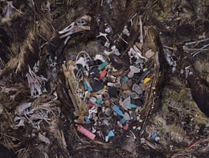 Albatross chicks: midway death
