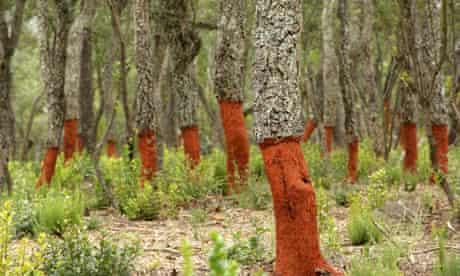 Freshly stripped cork oaks, Catalunya (Catalonia), Spain, Europe