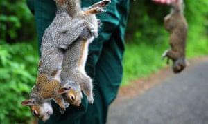 Man culls grey squirrels to aid return of red squirrels