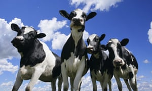 rinderpest virus : A bug's eye view of four young cattles in fields