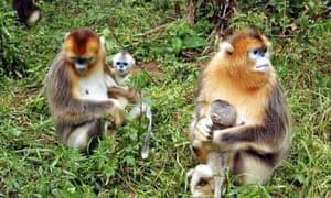 Biodiversity in China : Golden Monkeys at the Shennongjia National Natural Reserve