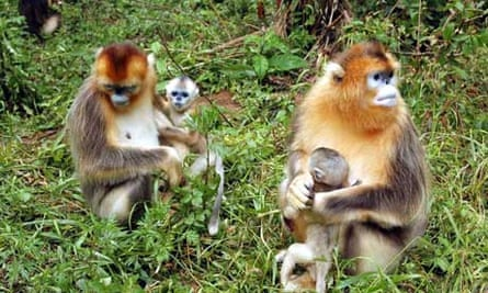 Biodiversity in China : Golden Monkeys at the Shennongjia National Natural Reserve