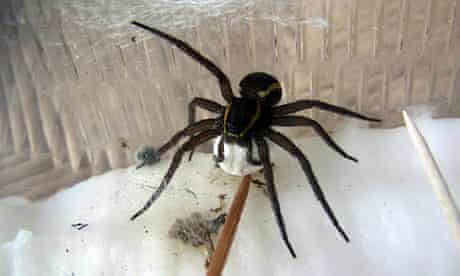 an adult female raft spider carrying her bag of eggs