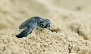 Green turtle hatchling in Madagascar