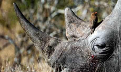 rhinoceros :  a bird sitting on the head of a white rhino taken at Kruger National Park