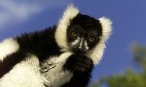 Weird mamals under threat get to EDGE red list : Black and white ruffed lemur