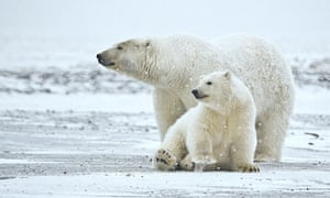 Week in wildlife : Polar bears are shown in this undated photograph from UCLA