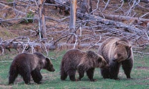 A female grizzly bear family rambles through Yellowstone National Park