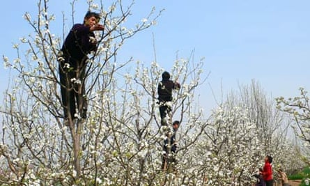 Pollination in China : farmers in orchard pollinating