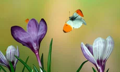Grassland butterflies plummet across Europe : Orange Tip Butterfly Anthocharis cardamines