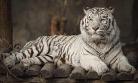 A white tiger rests inside an enclosure at Beijing Zoo, China