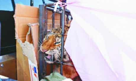The wild Siberian tiger cub found in northeastern China