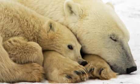 A mother Polar Bear with her cub outside Churchill, Mantioba, Canada