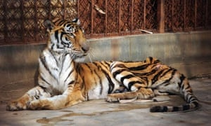 A malnourished tiger in a cage at Xiongsen Tiger Bone Wine farm, Guilin, China