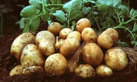 Brussels authorises growing GMO Amflora potato in Europe
