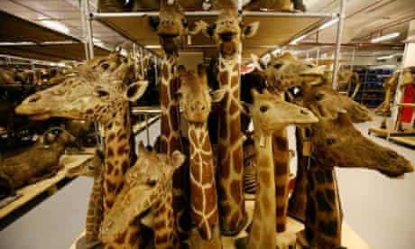 Stuffed animal heads including giraffes, in the Natural History Museum